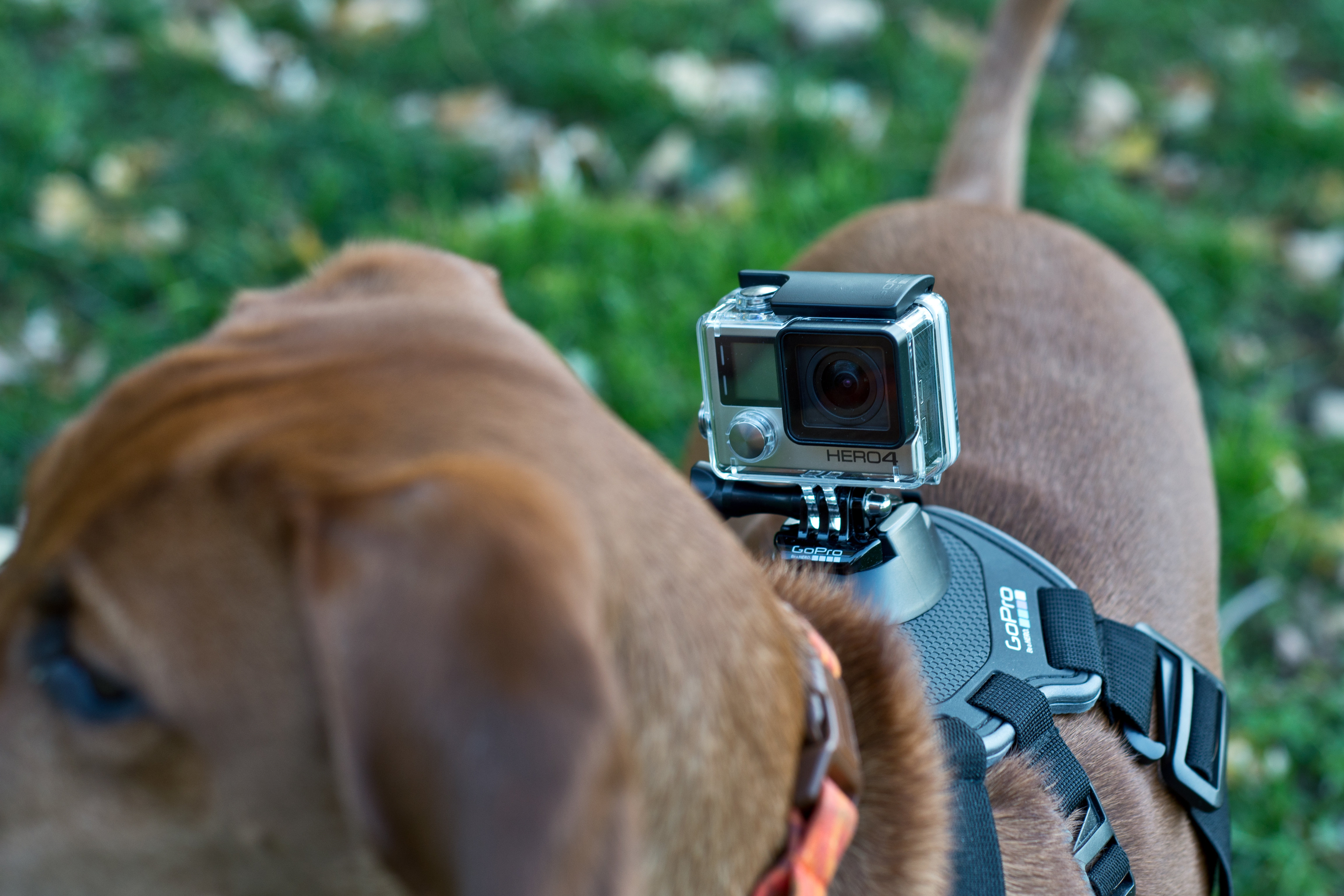 A photograph of the GoPro Hero 4 Silver mounted on a dog.