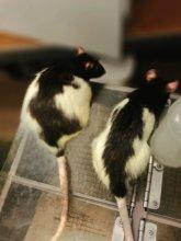 Aaron Blaisdell two lab rats.jpg