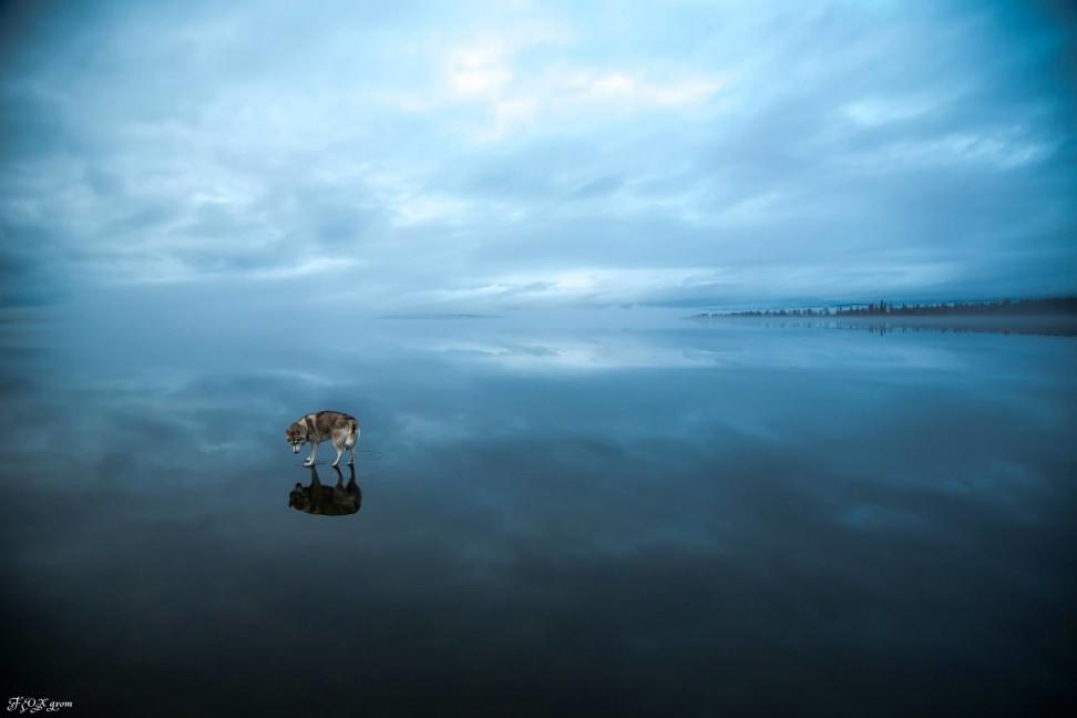 Huskies-Walking-On-Water-5.jpg