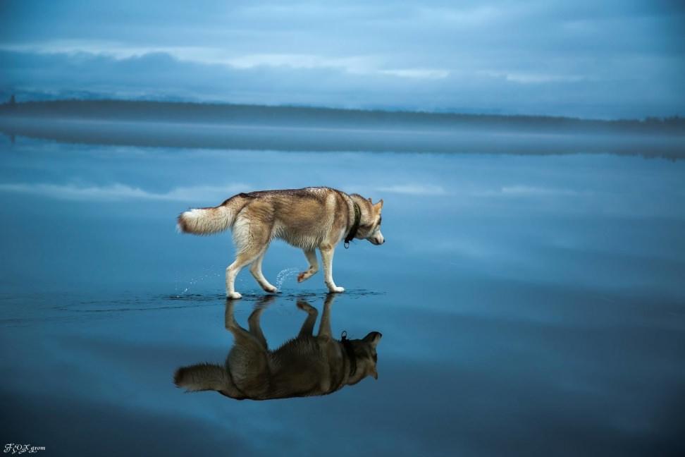 Huskies-Walking-On-Water-6.jpg